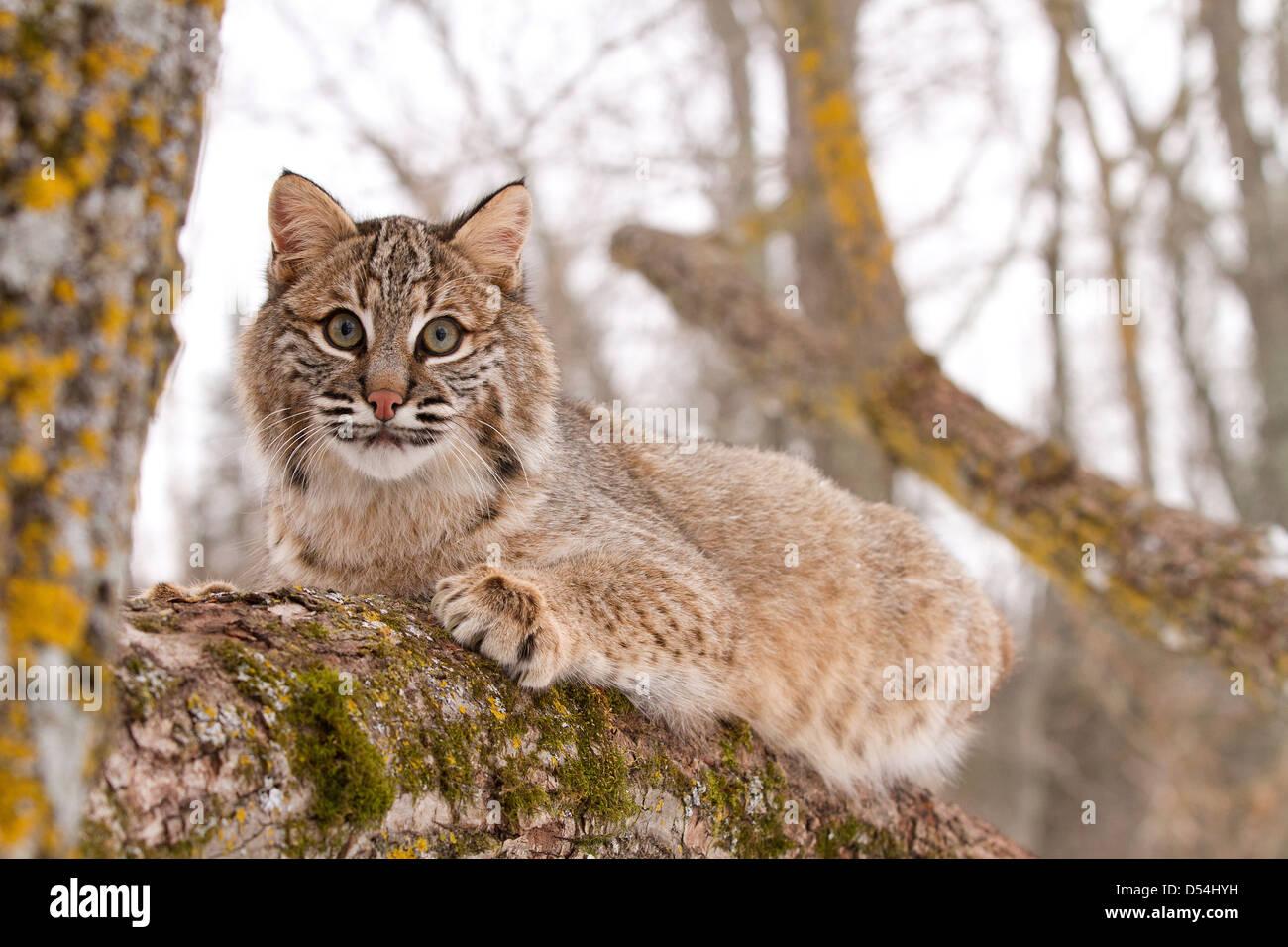 Bobcat, Lynx rufus climbing a tree - Stock Image