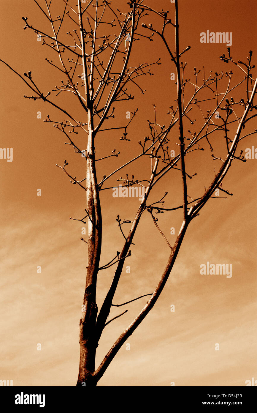 Tree branches without leaves in sepia tones Stock Photo