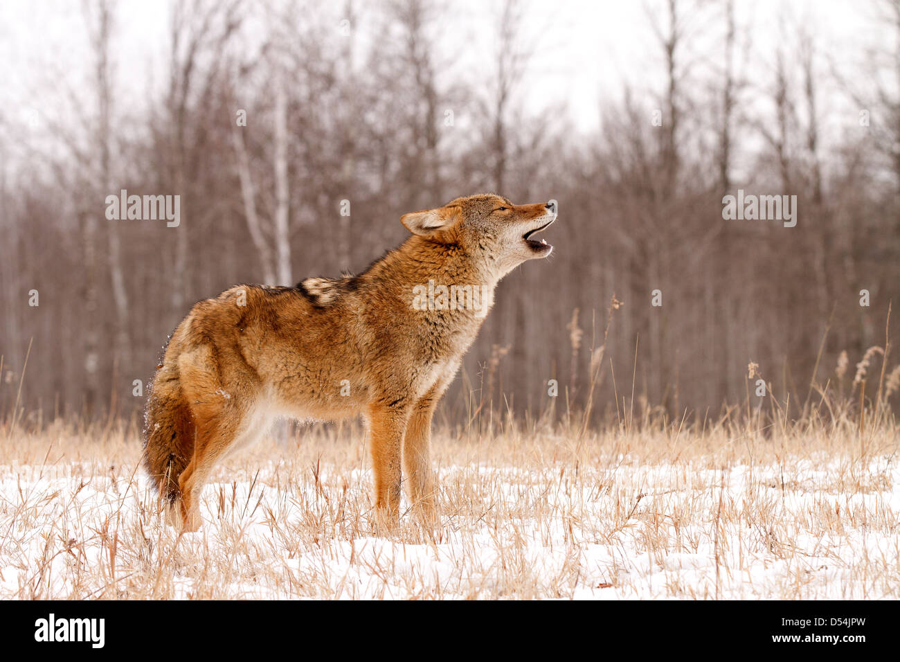 Coyote, Canis latrans howling in the snow - Stock Image