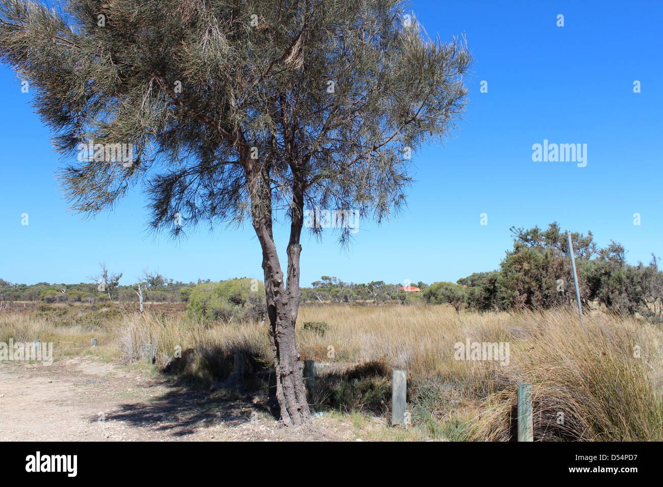 An Australian casuarina or sheoak tree is  growing by the  Leschenault estuary near Australind Western Australia - Stock Image