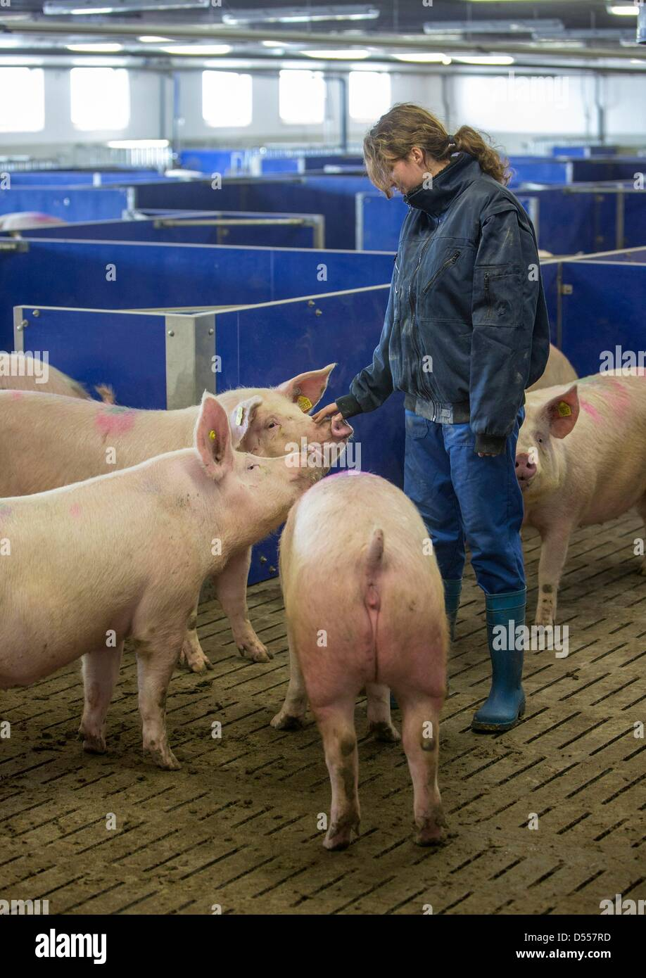Pig breeder Carin Ebert examines the health condition of pigs at a pig farm in Wiegleben, Germany, 25 March 2013. Stock Photo