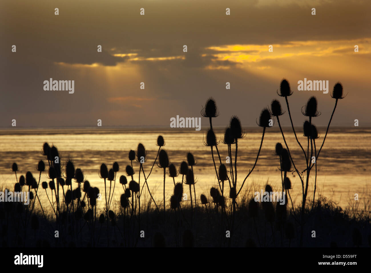 Teasal seedheads at Snettisham The Wash in evening sun at Lowtide Norfolk UK - Stock Image