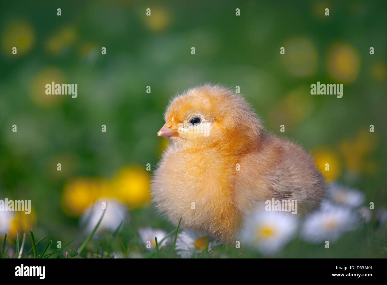 Day old chicks newly hatched in spring in daises - Stock Image