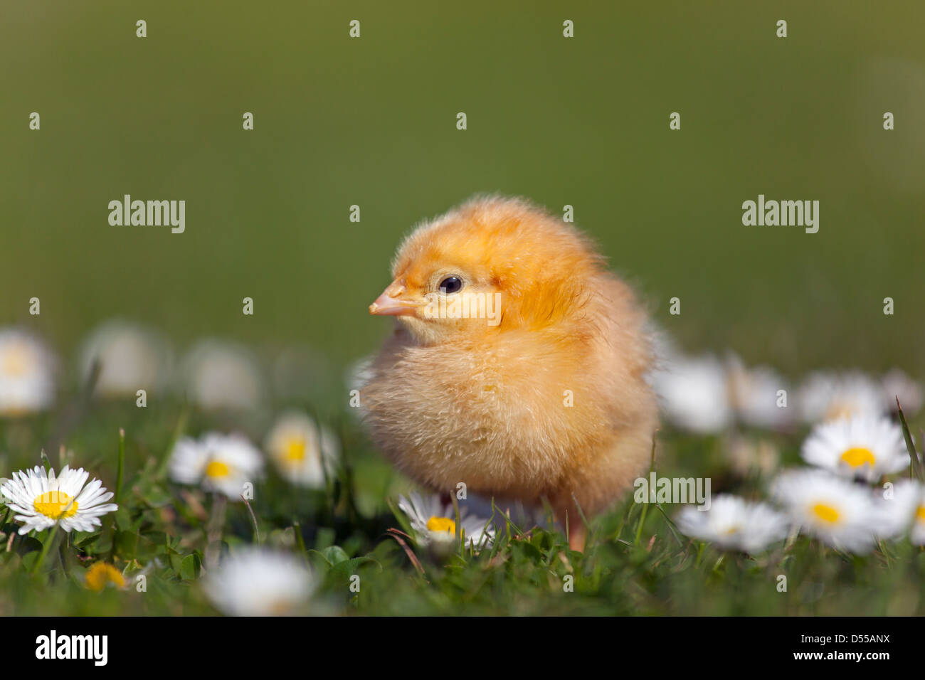 Day old chick newly hatched in spring in daises - Stock Image