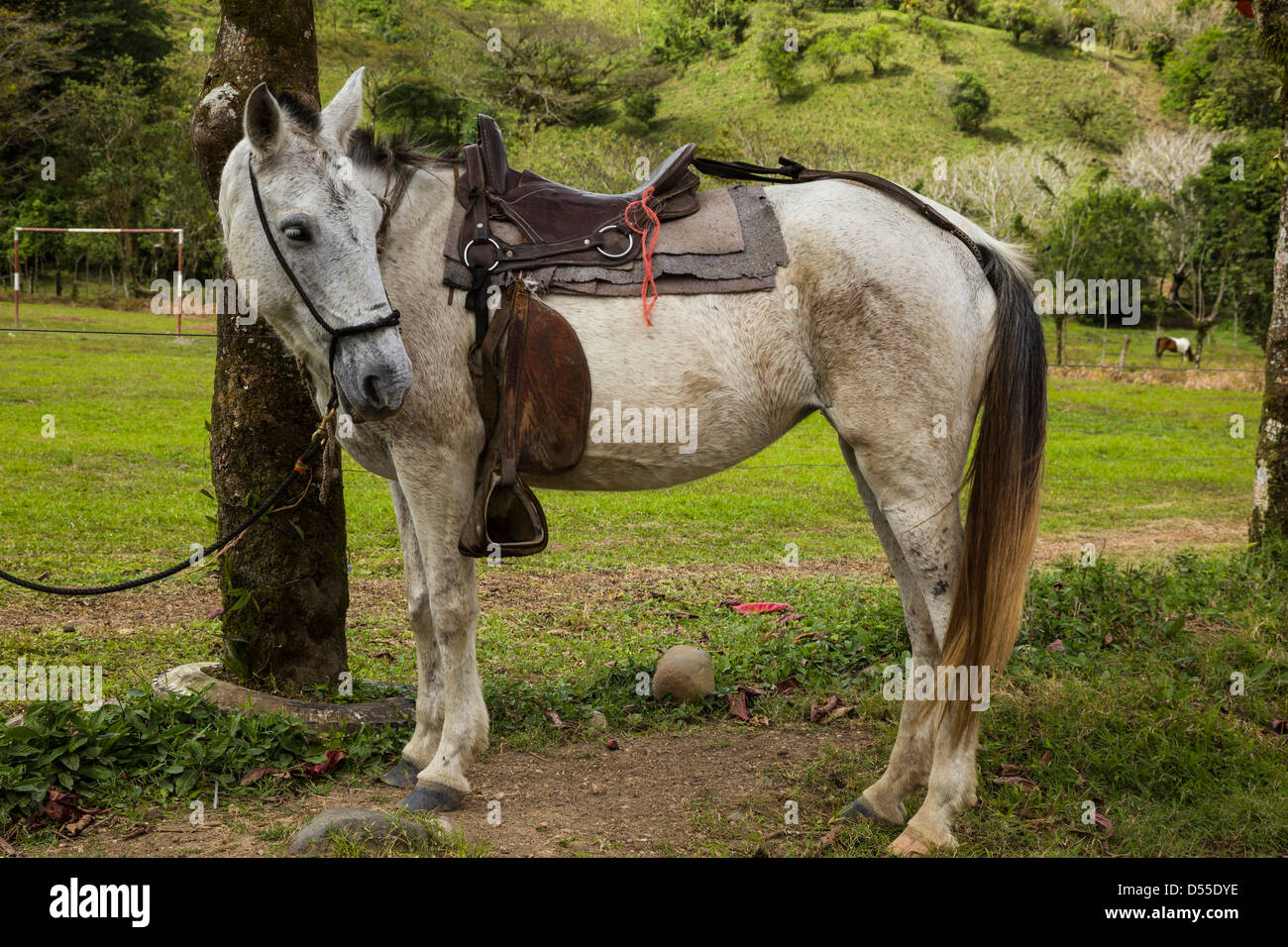 Saddled horse tied to a tree in the Lake Arenal area, Alajuela province, Costa Rica. - Stock Image