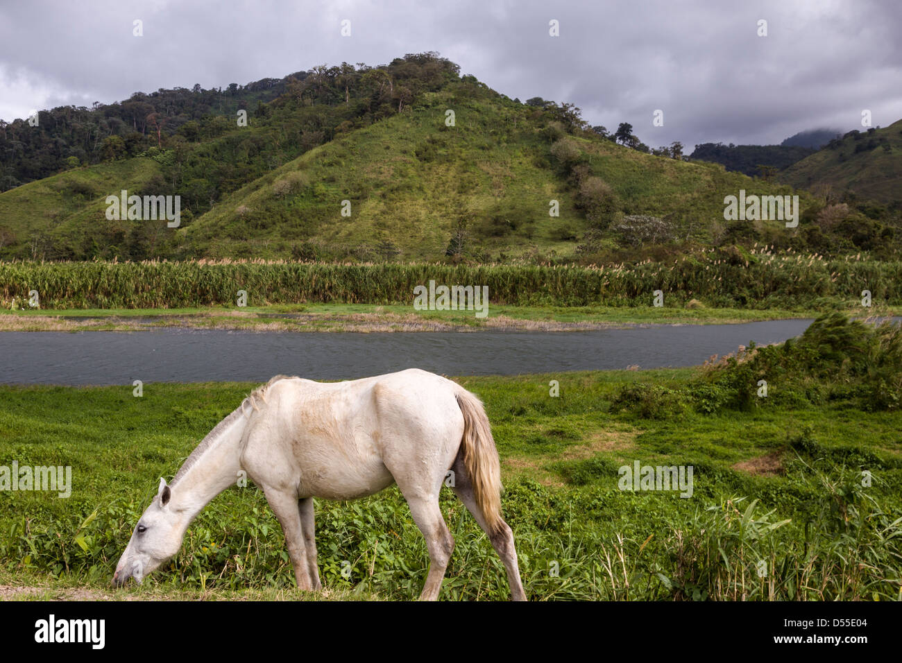 White horse grazing by Lake Arenal in the Alajuela province of Costa Rica. - Stock Image
