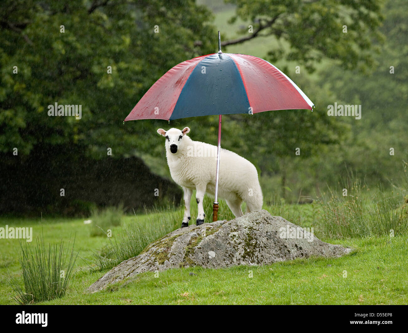 Humorous image of  a lamb in a field, front feet on rock, sheltering under umbrella from the heavy rain. - Stock Image