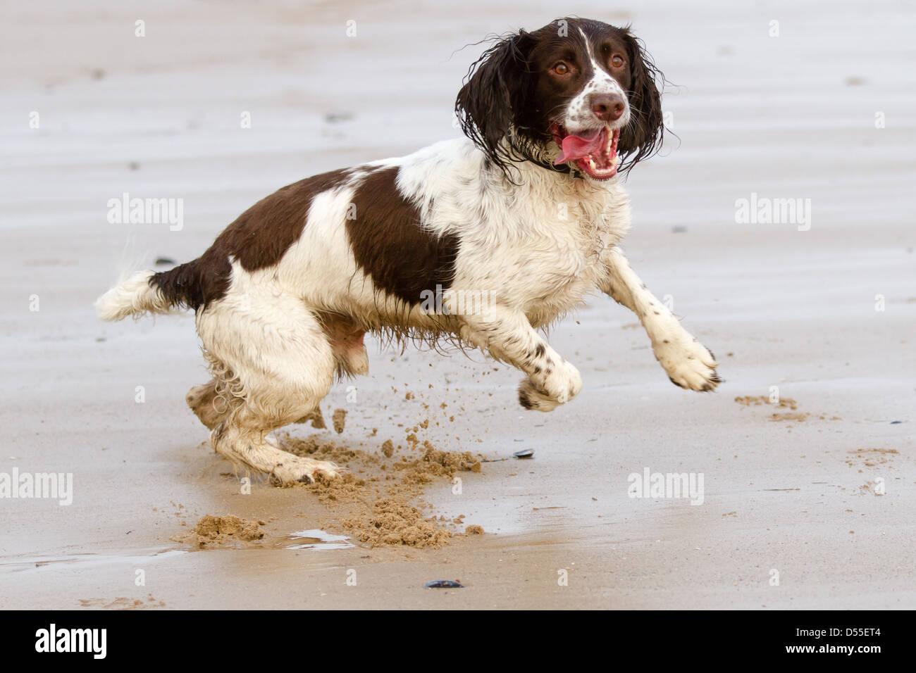 English Springer Spaniel dog leaping across the beach in Bridlington - Stock Image