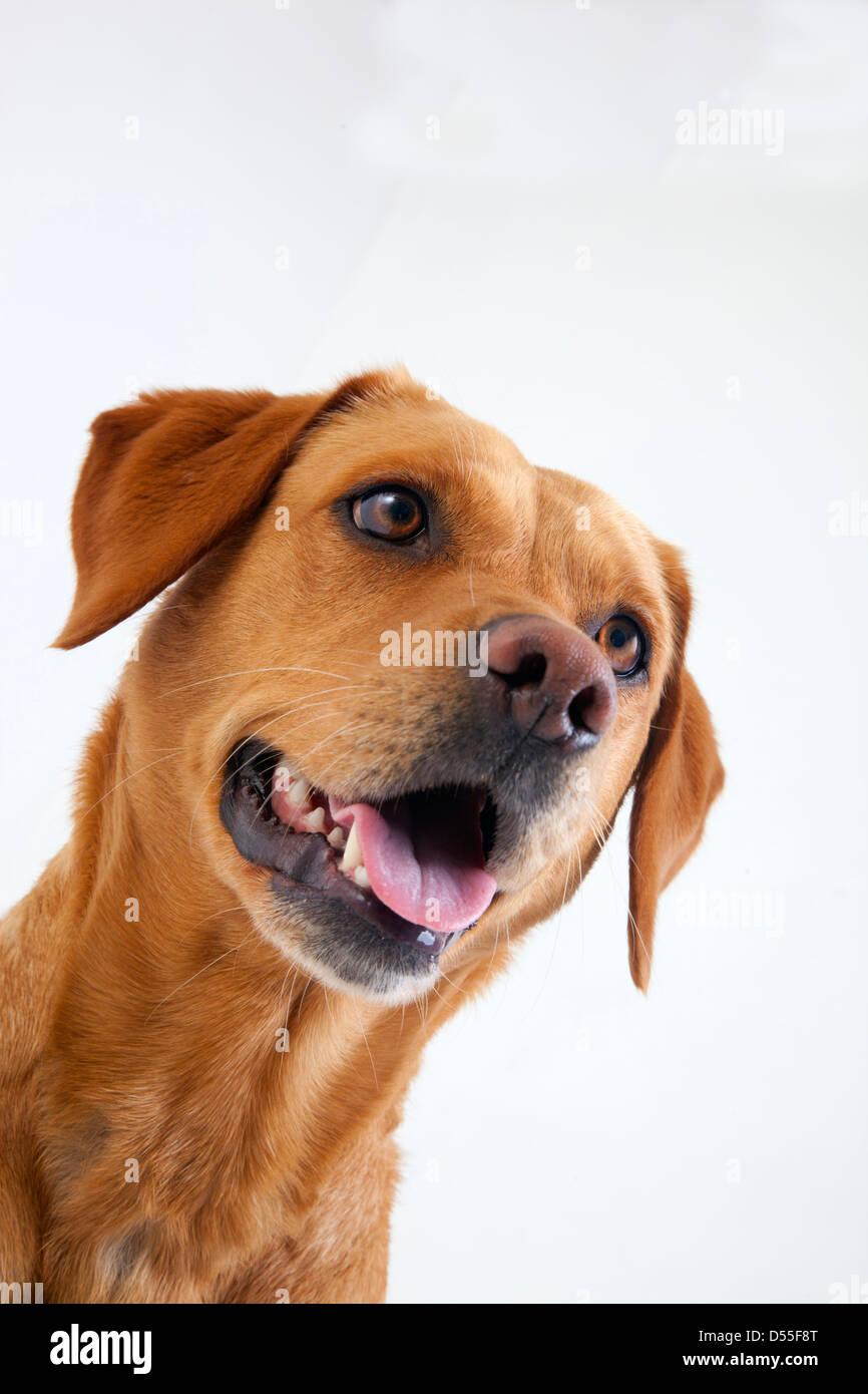 Yellow Labrador portrait in studio - Stock Image