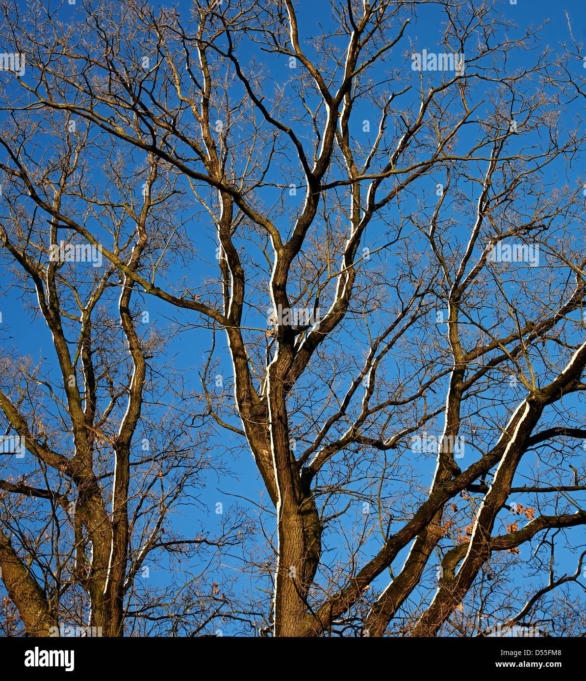 Ochtmannnsbruch, Germany, leafless tree in winter - Stock Image