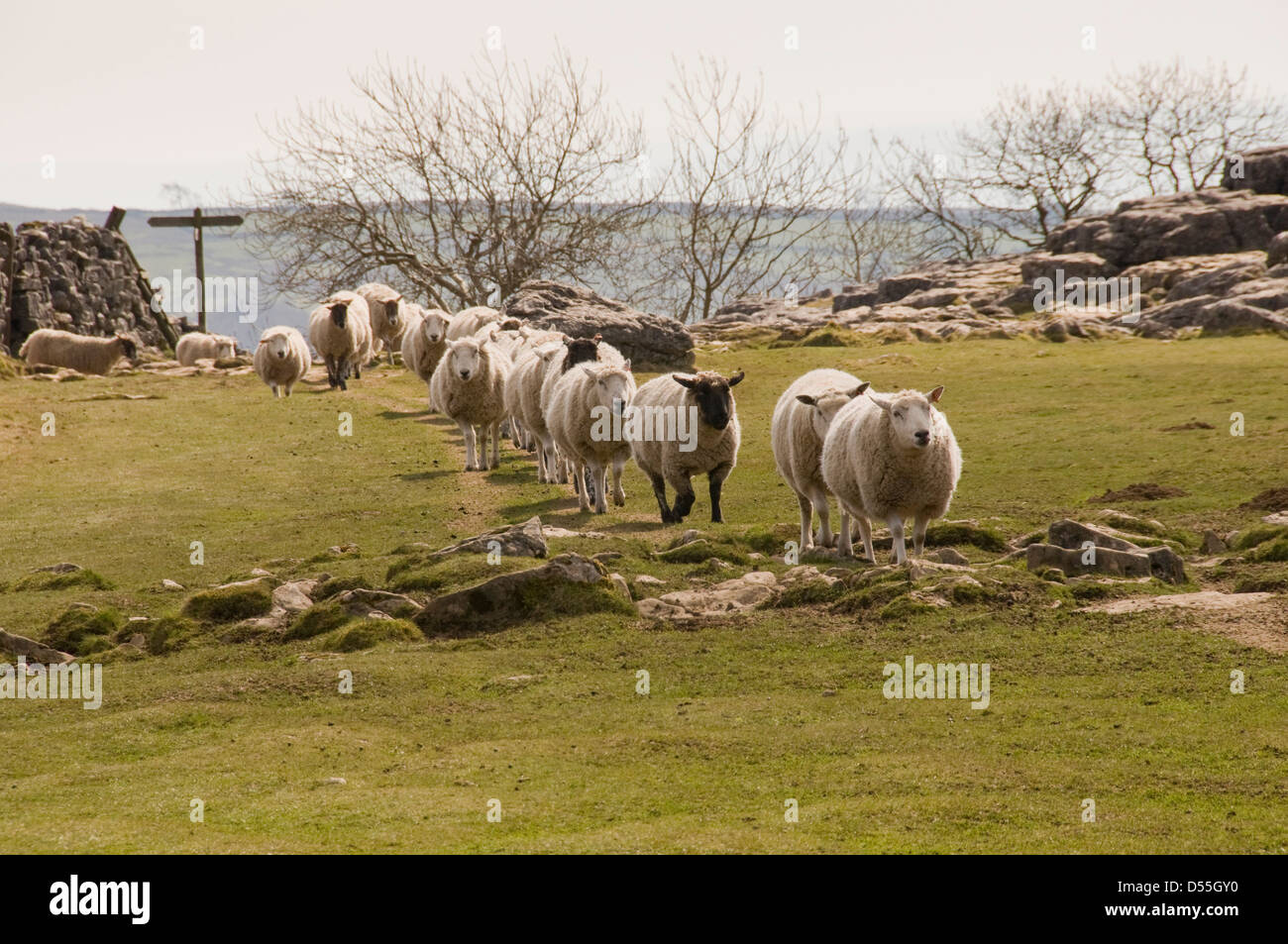 Flock of sheep in long line following one after the other, walking on rocky limestone terrain (amusing) - Malham Stock Photo