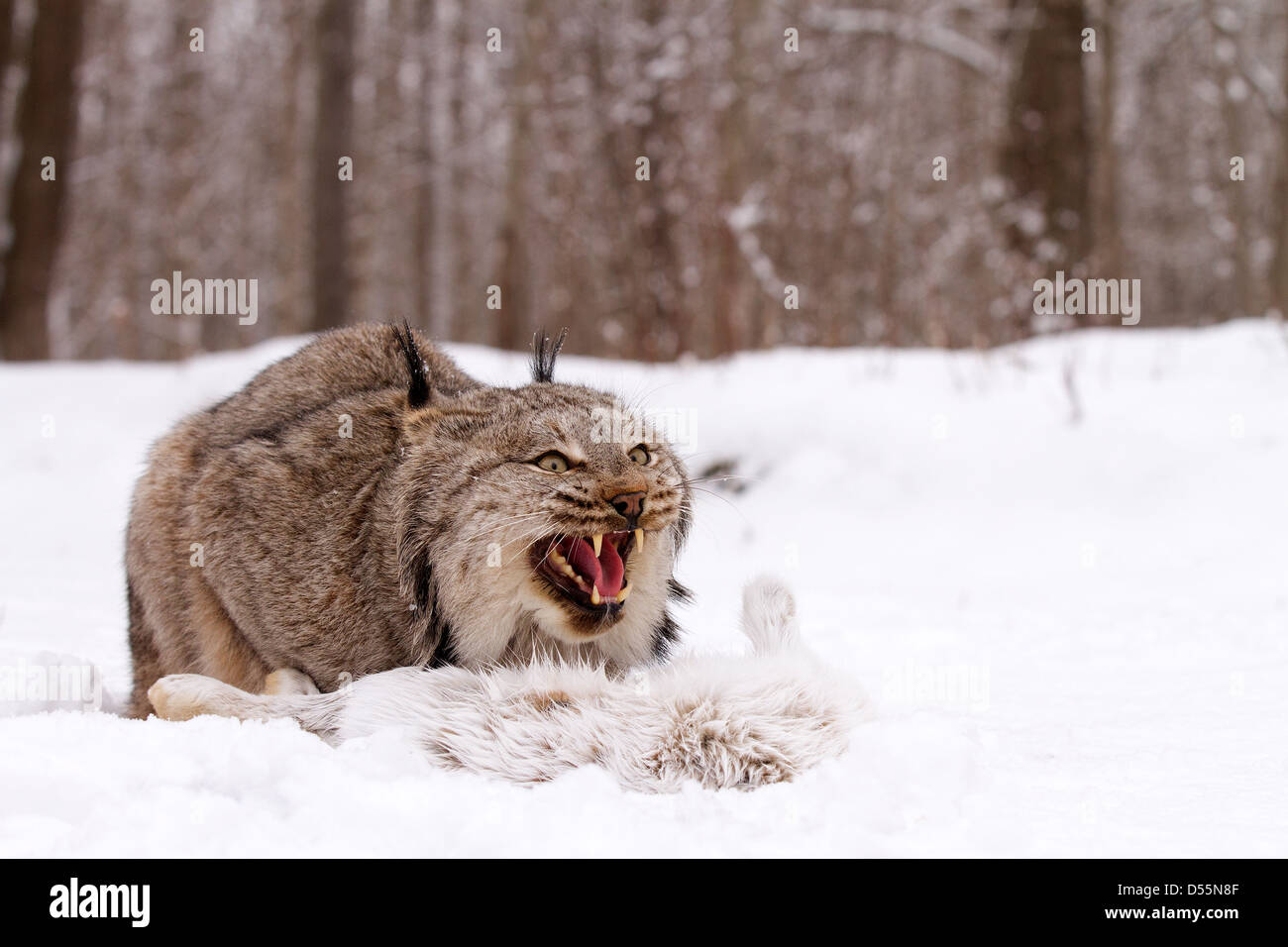 Canada Lynx, Lynx canadansis in snow, with Snowshoe Hare - Stock Image