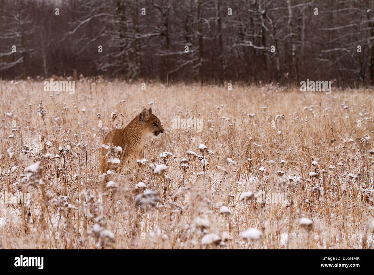 Mountain Lion, Felis concolor in the fields - Stock Image