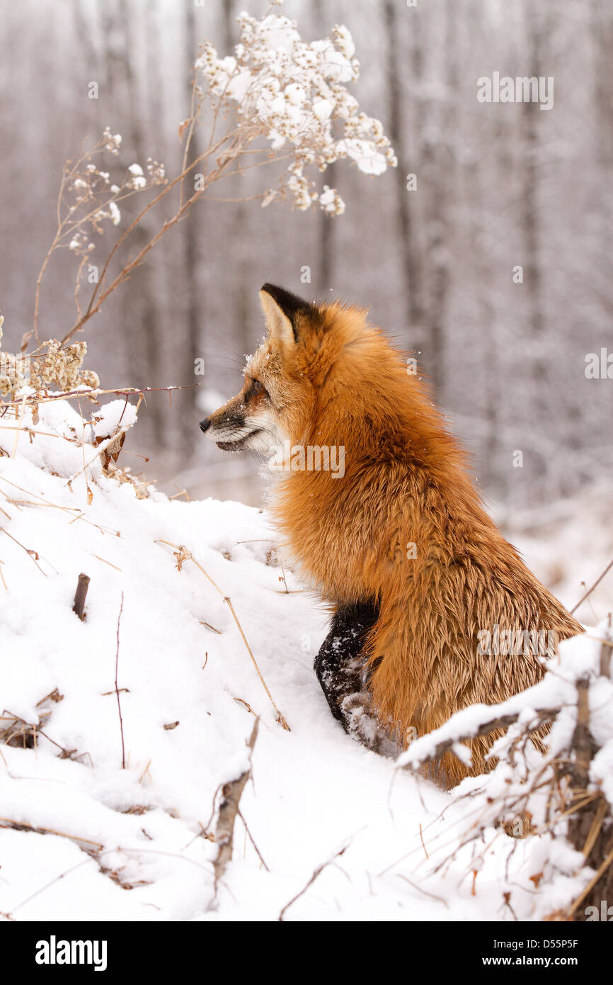 Red Fox, Vulpes vulpes sitting - Stock Image