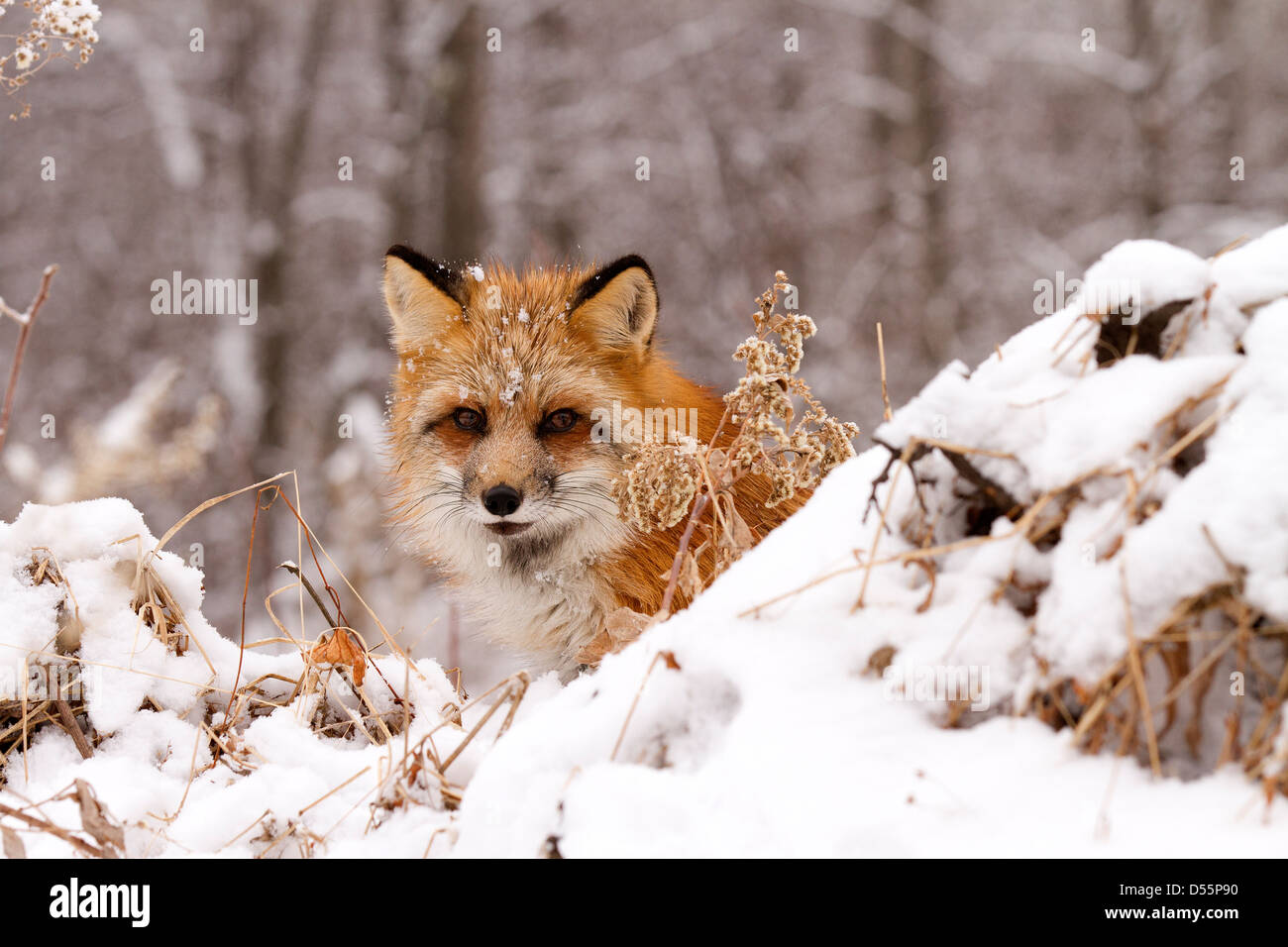 Red Fox, Vulpes vulpes coming out of the woods - Stock Image