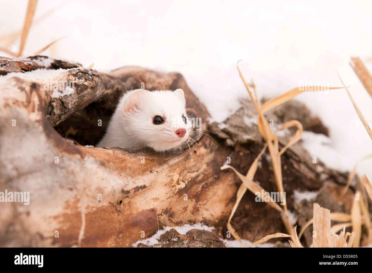 Short tailed Weasel, Mustela erminea in a hollow log - Stock Image