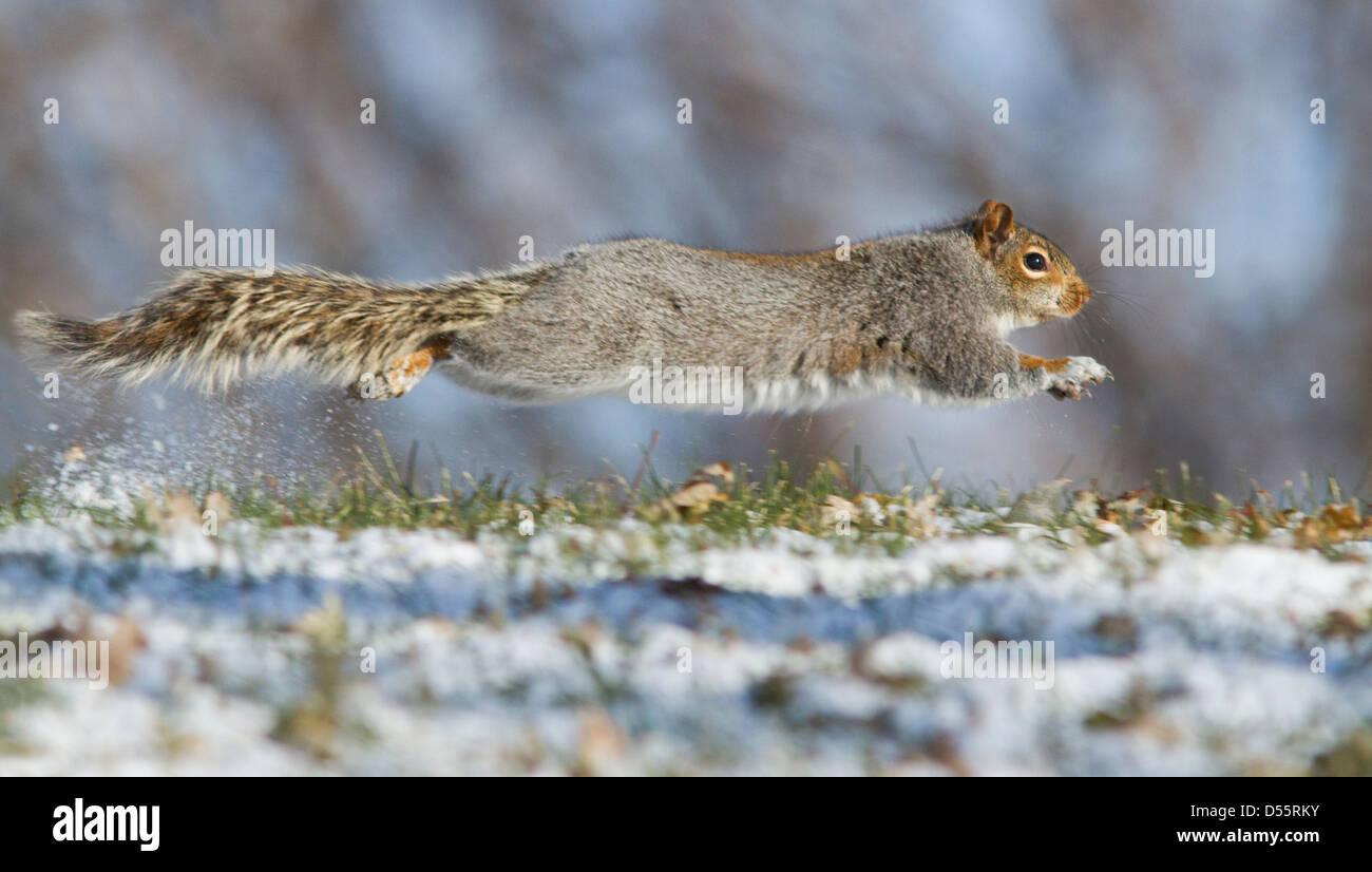 Grey Squirrel (Sciurus hudsonicus) running in snow. - Stock Image
