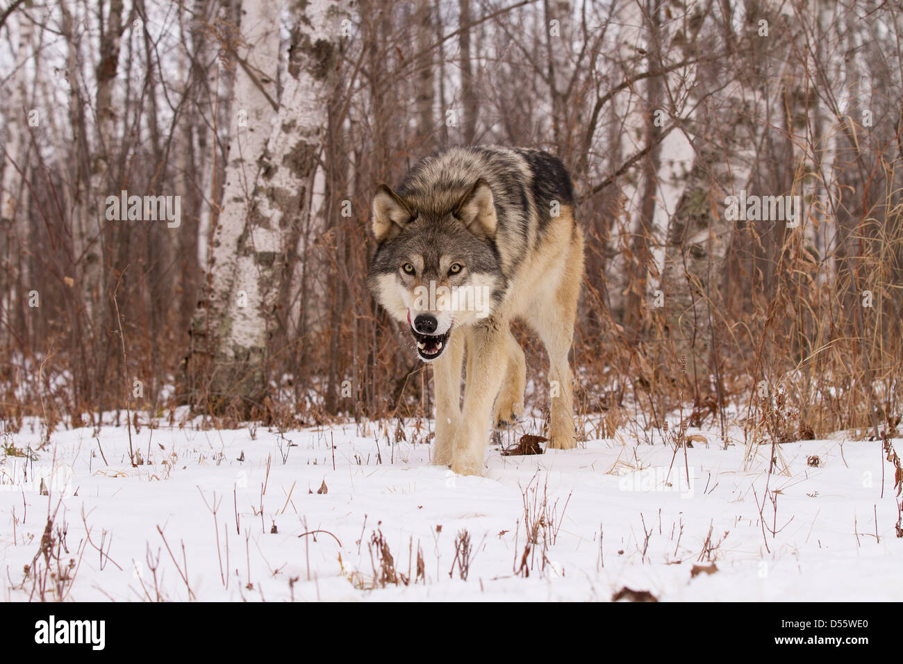Gray Wolf, Canis lupus hunting in the woods - Stock Image