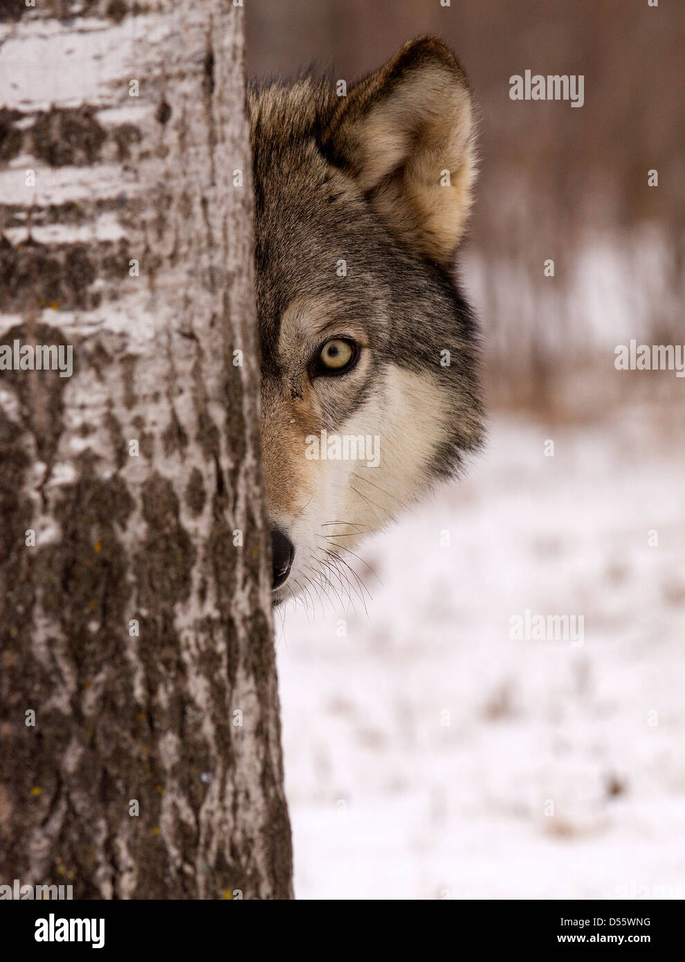 Gray Wolf, Canis lupus standing between the trees - Stock Image