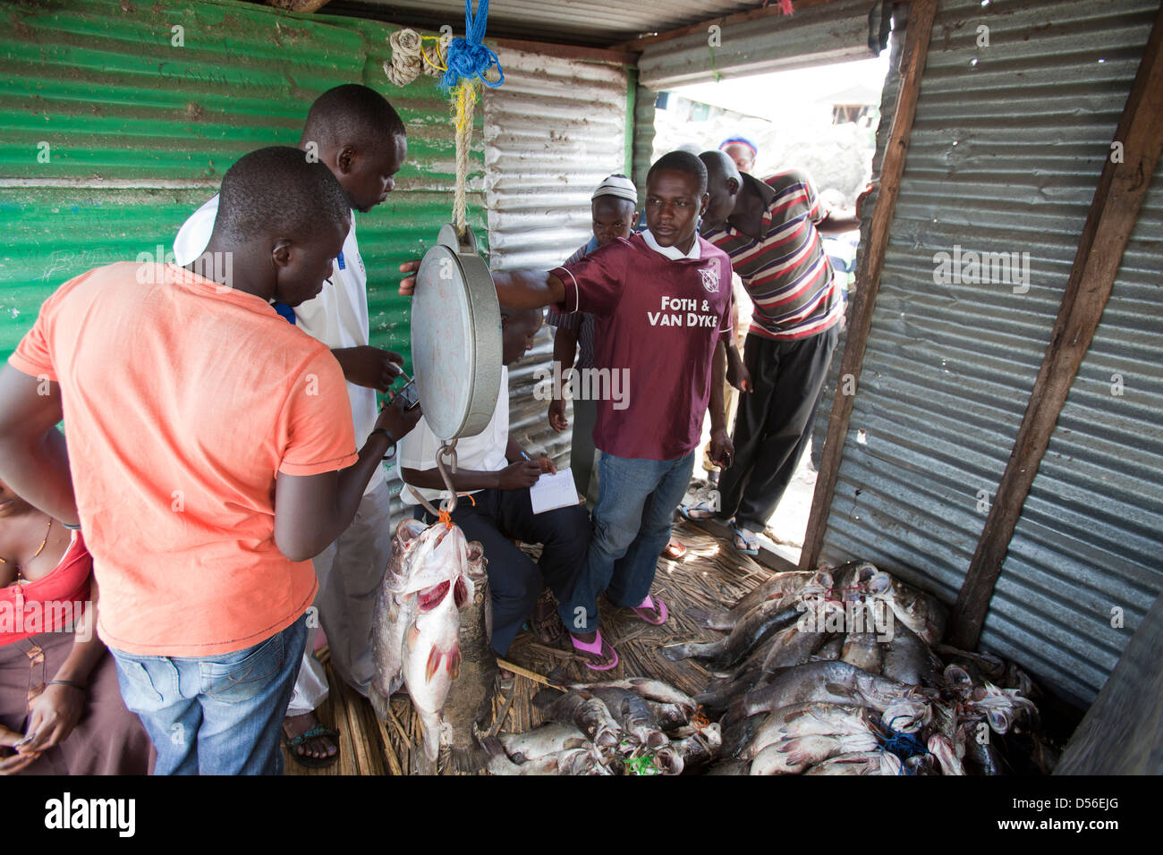 Fishermen weighing and trading Nile Perch (Lates niloticus) for export, Remba Island, Lake Victoria, Kenya. - Stock Image
