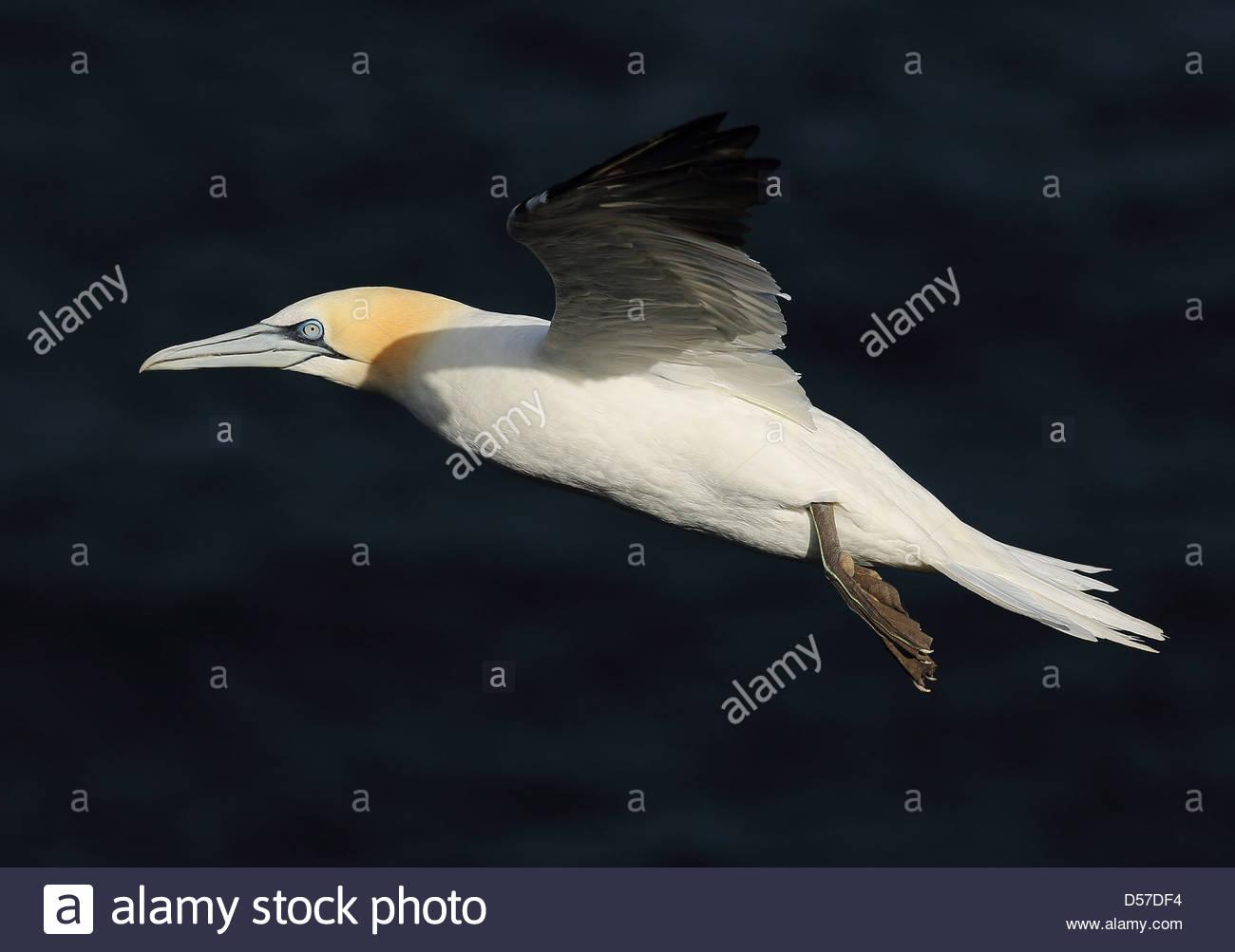Northern Gannet in flight - Stock Image