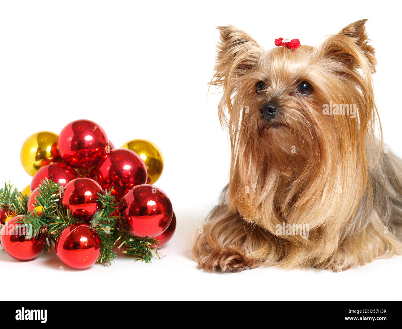 Yorkshire dog with christmas balls on white - Stock Image