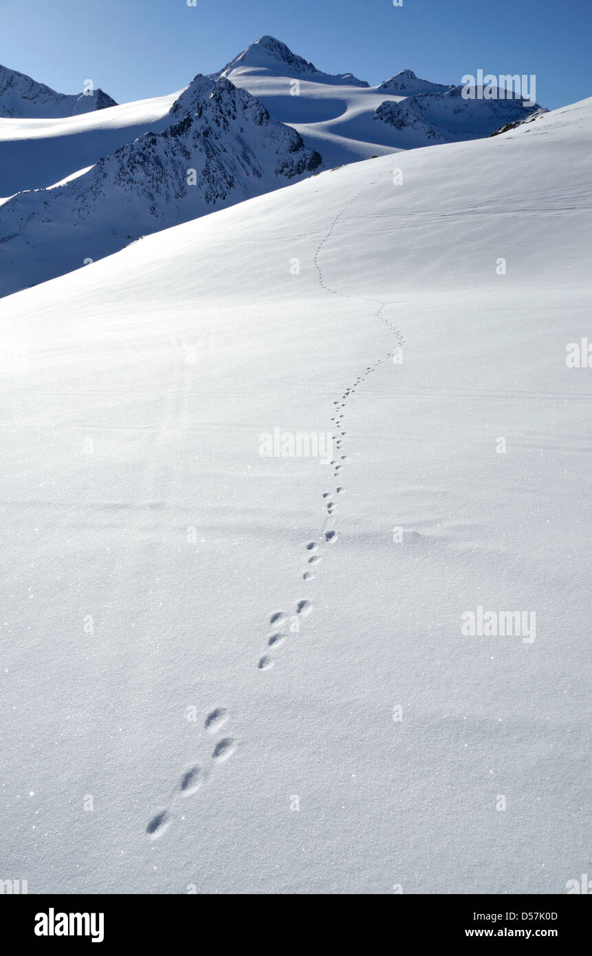 Animal tracks in the snow of Austria's Otztal Alps. - Stock Image