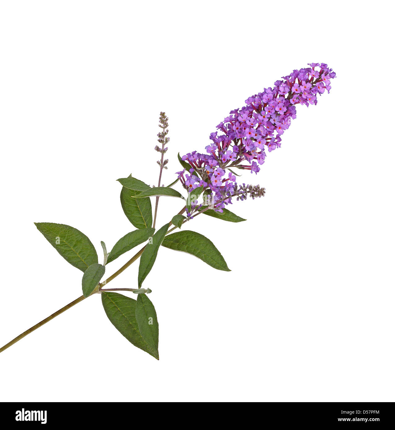 Branch with purple flowers of a butterfly bush (Buddleja davidii) isolated against a white background - Stock Image