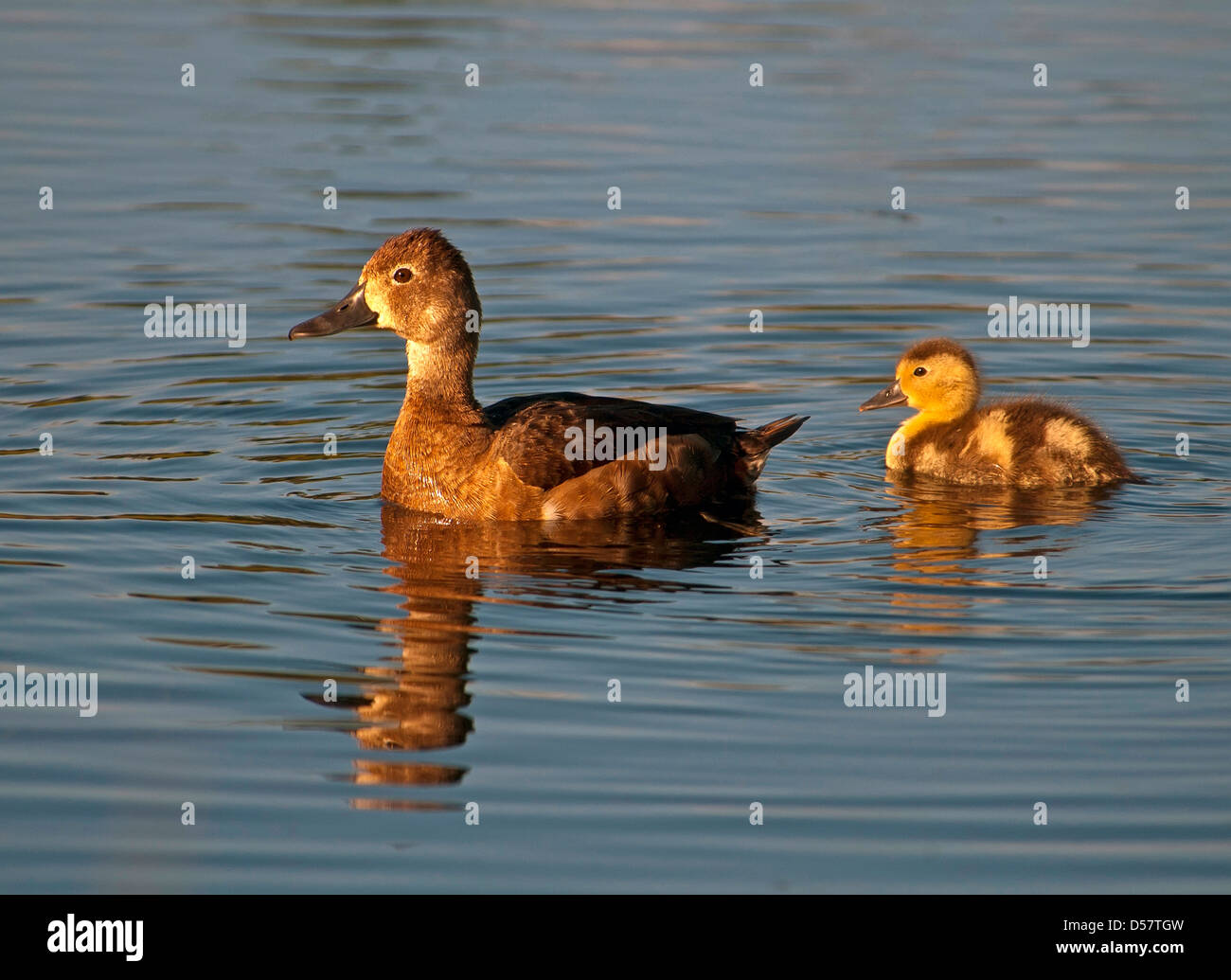 American Widgeon ,Baldpate, Anas americana,Female swimming with chick - Stock Image
