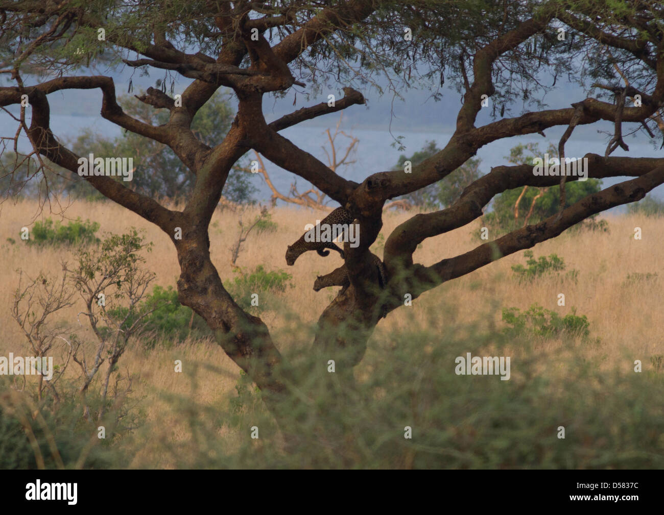 Adult female leopard (Panthera pardus) with sub-adult cub in tree Stock Photo