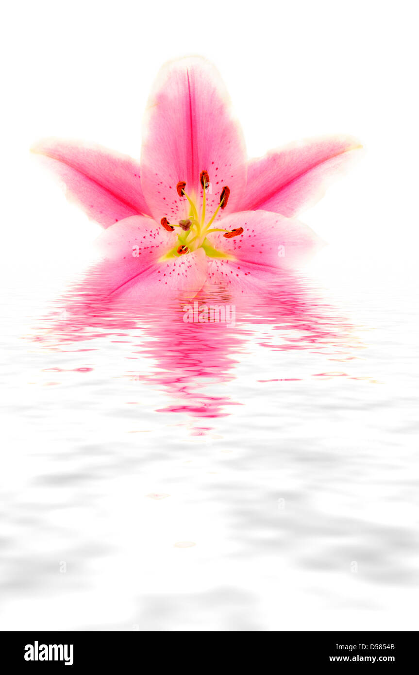pink Lily flower with reflection Stock Photo