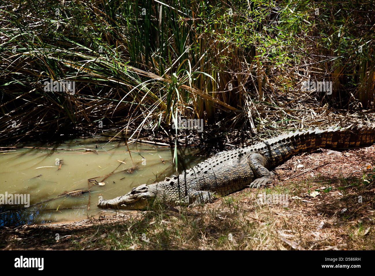 Australia, Western Australia, saltwater crocodile at the Wyndham crocodile farm - Stock Image