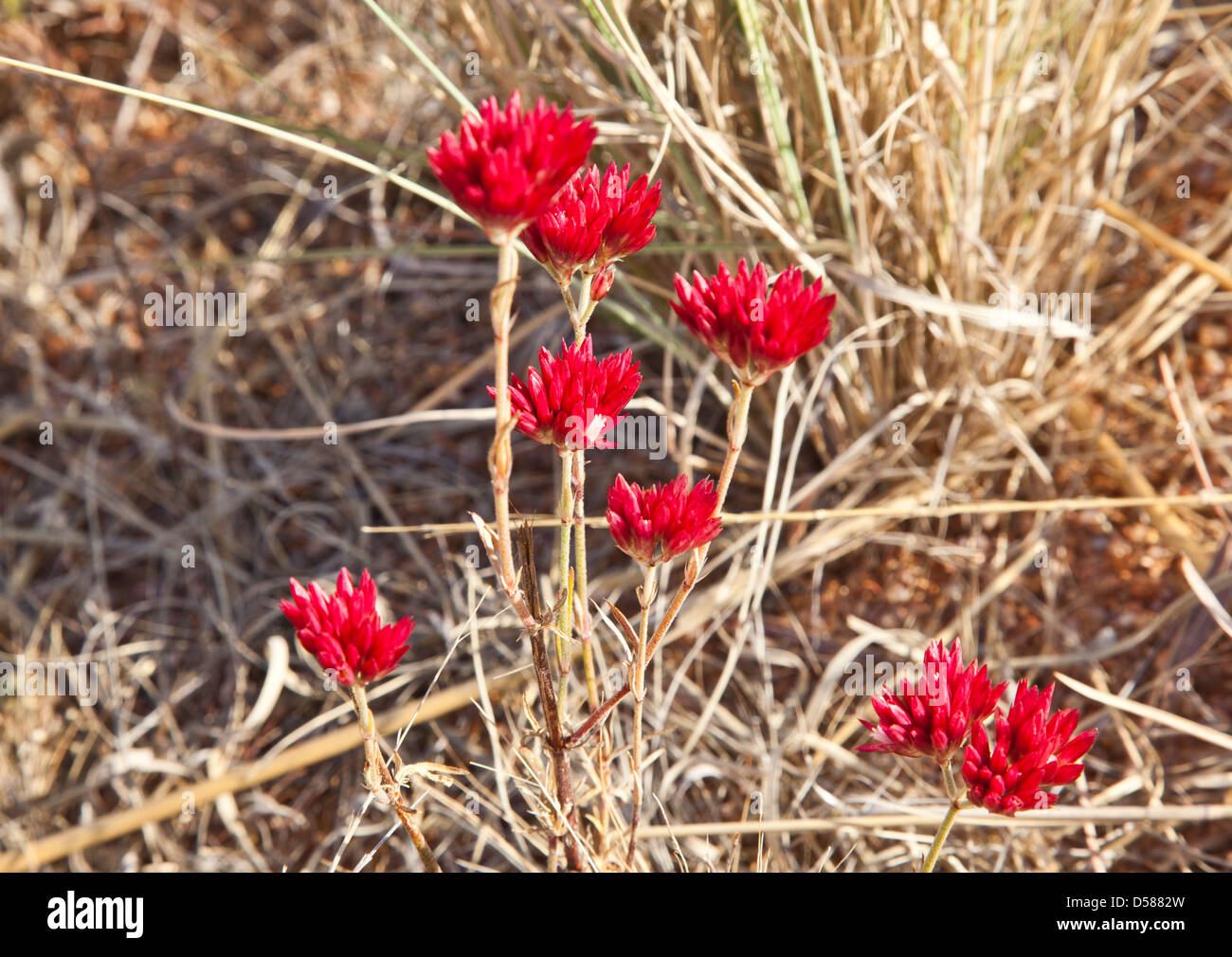 spring wildflower in the Shire of Halls Creek - Stock Image