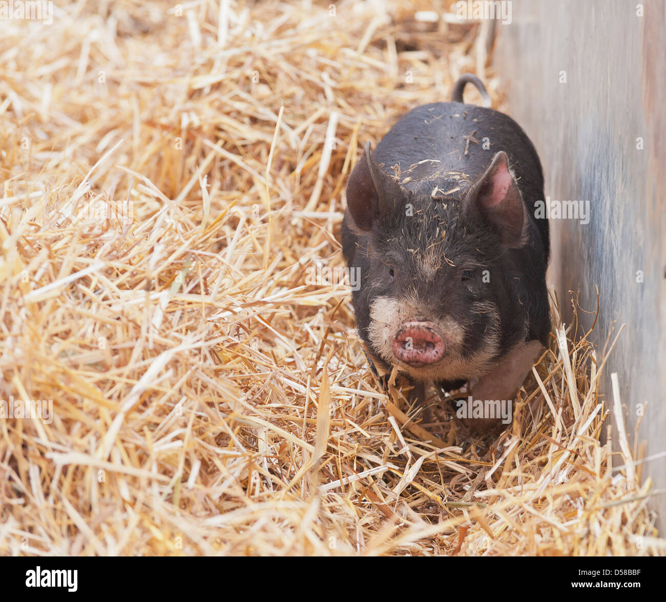 This was a very curious pig who seemed to come bounding towards me whenever I got my camera out - Stock Image