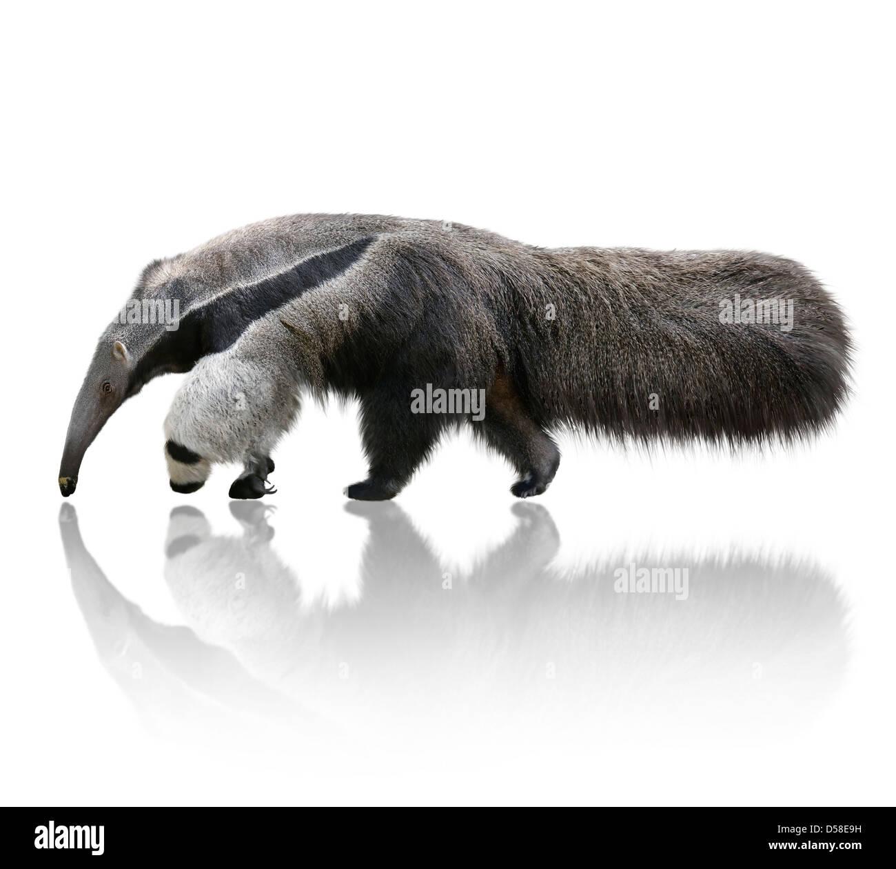 Giant Anteater, Myrmecophaga Tridactyla,On White Background Stock Photo