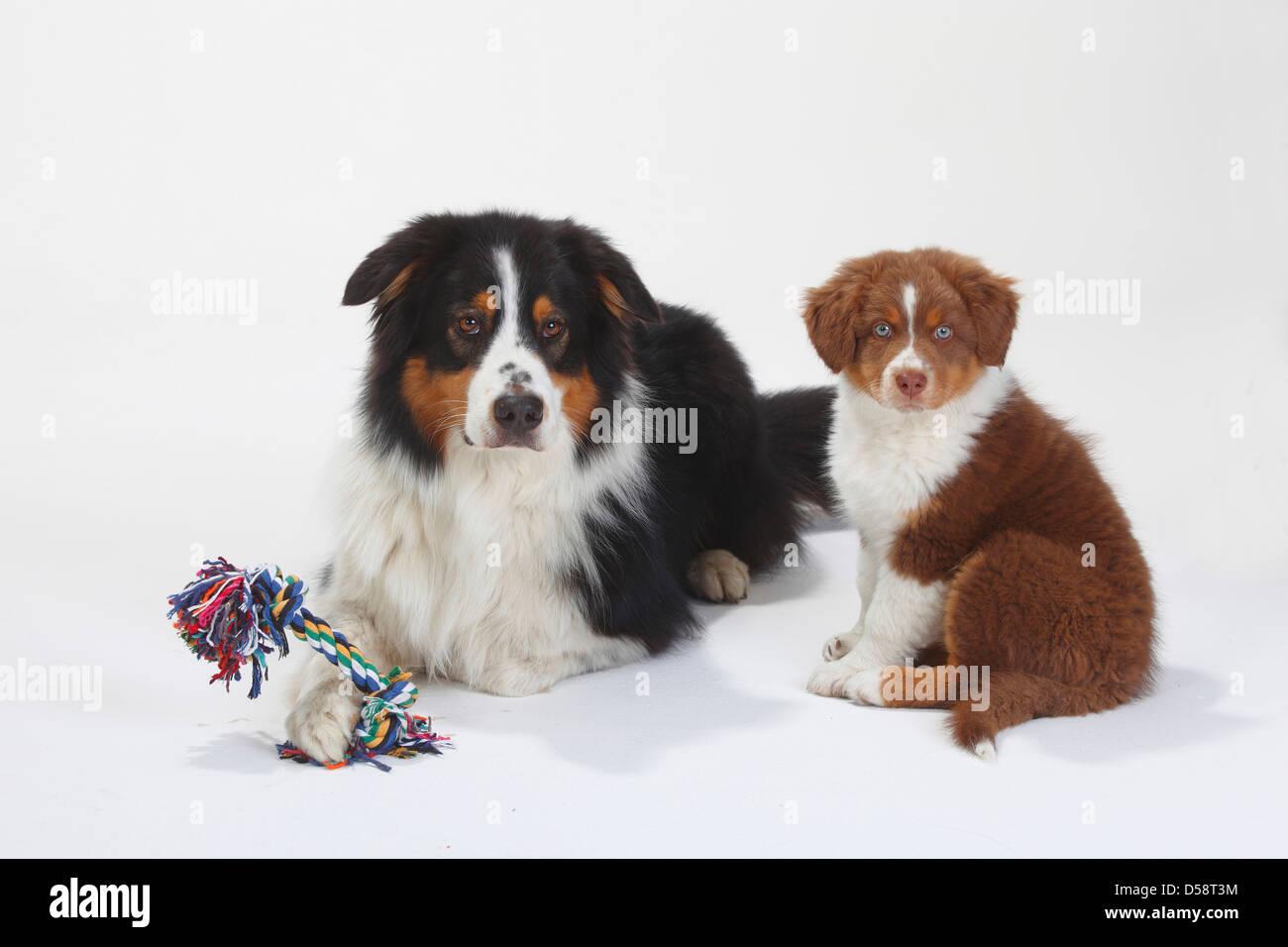 Australian Shepherd Black Tri With Puppy Red Tri 9 Weeks Toy Stock Photo Alamy