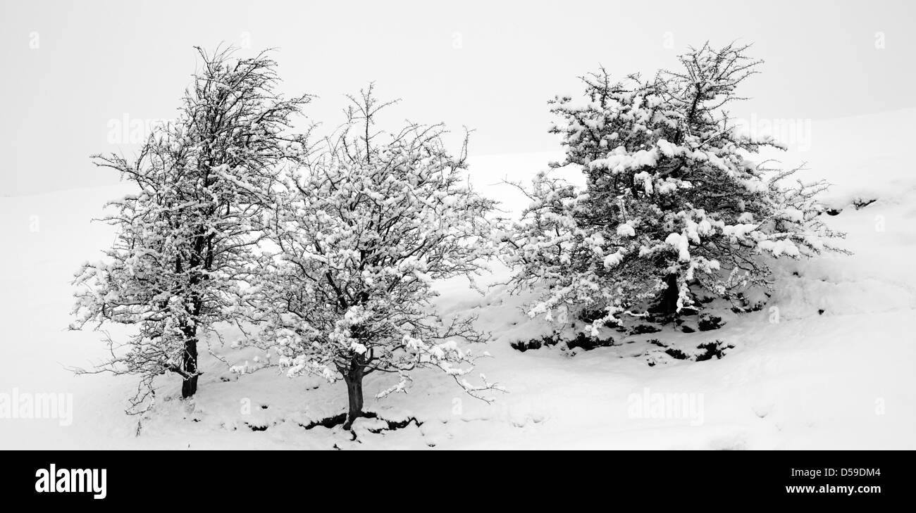 Three snowcovered hawthorne trees after heavy snowfall in Nidderdale. North Yorkshire. - Stock Image