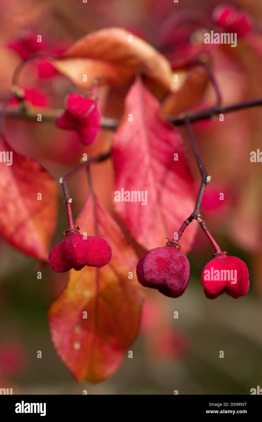 Red Euonymus hamiltonianus 'Rising Sun' berries and leaves. - Stock Image