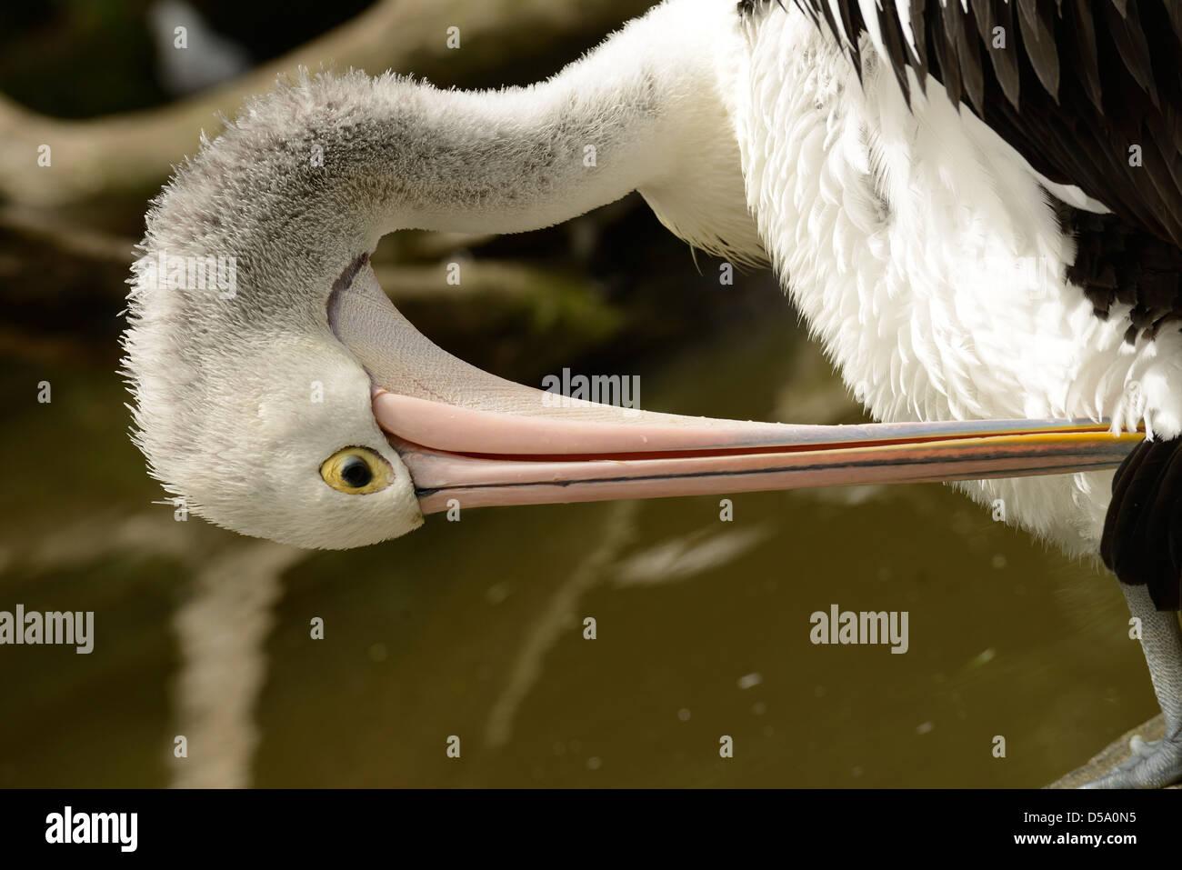 Australian Pelican (Pelecanus conspicillatus) adult preening, Queensland, Australia, November - Stock Image