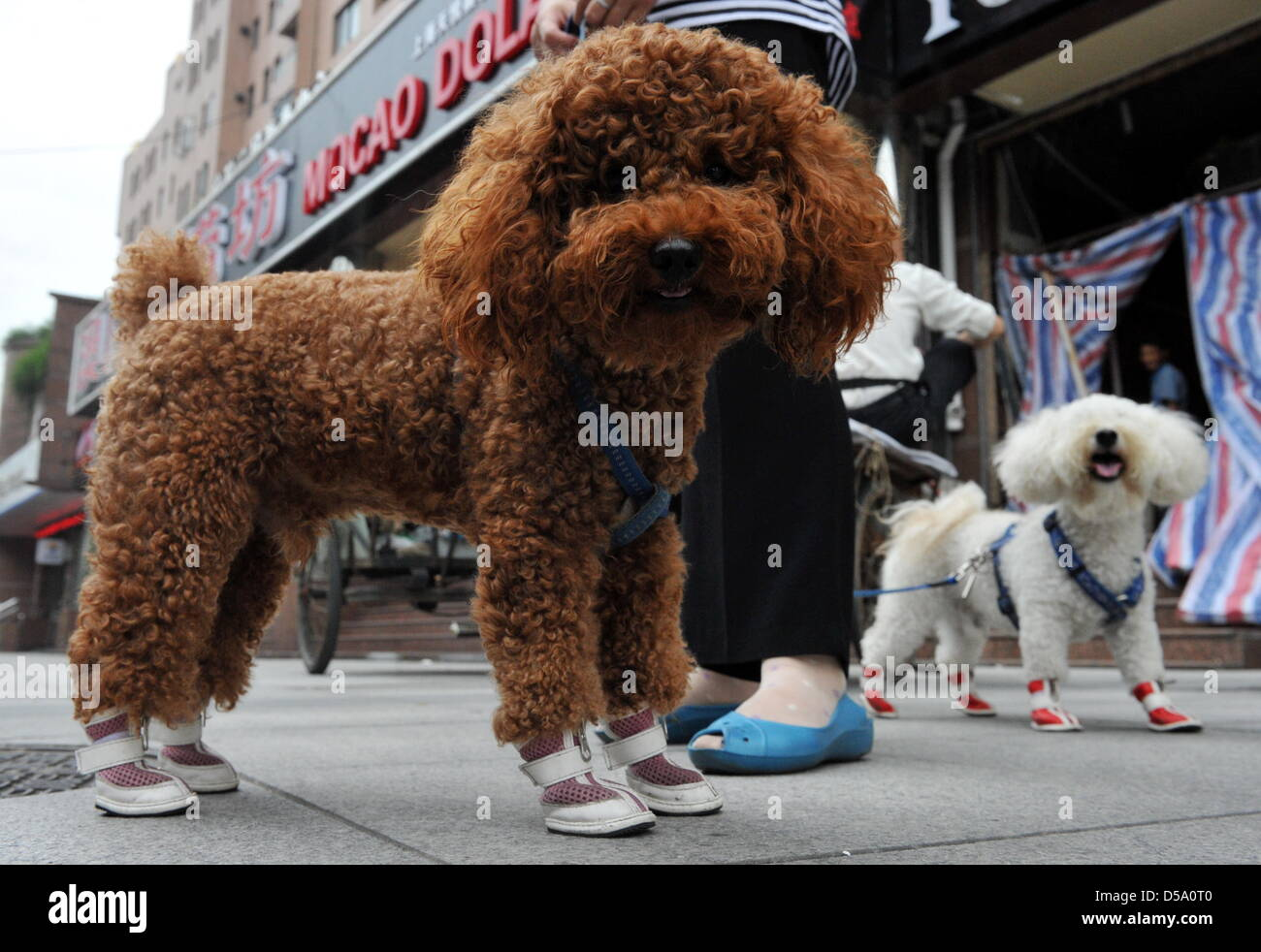 A chinese woman takes a walk with her poodles in Shanghai, China on 10 July 2010. Both animals wear shoes with hook - Stock Image