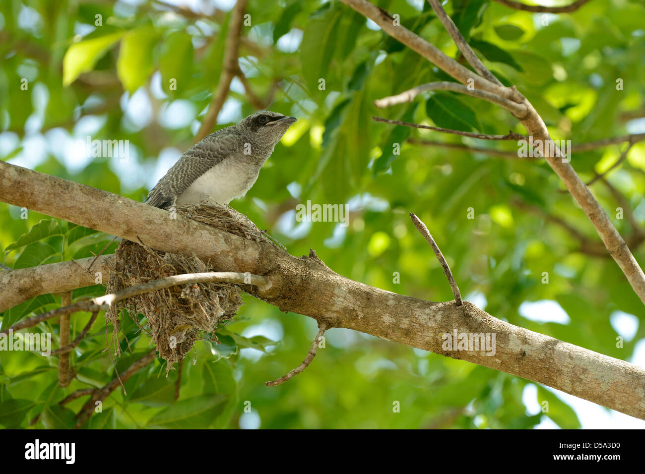 Black Faced Cuckoo Shrike Coracina Novaehollandiae Fledgeling Sat On Top Of Nest