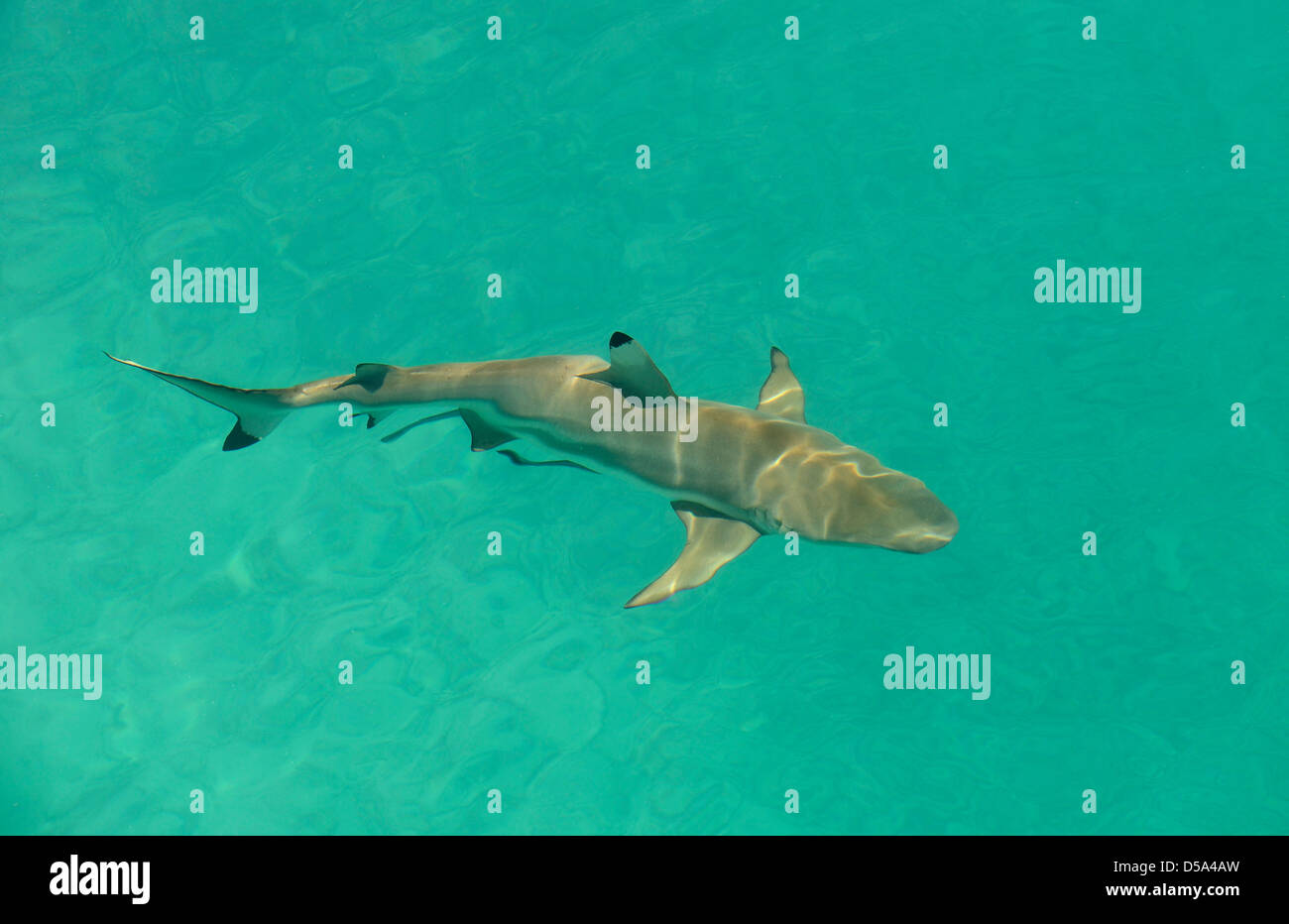 Blacktip Reef Shark (Carcharhinus melanopterus) swimming in