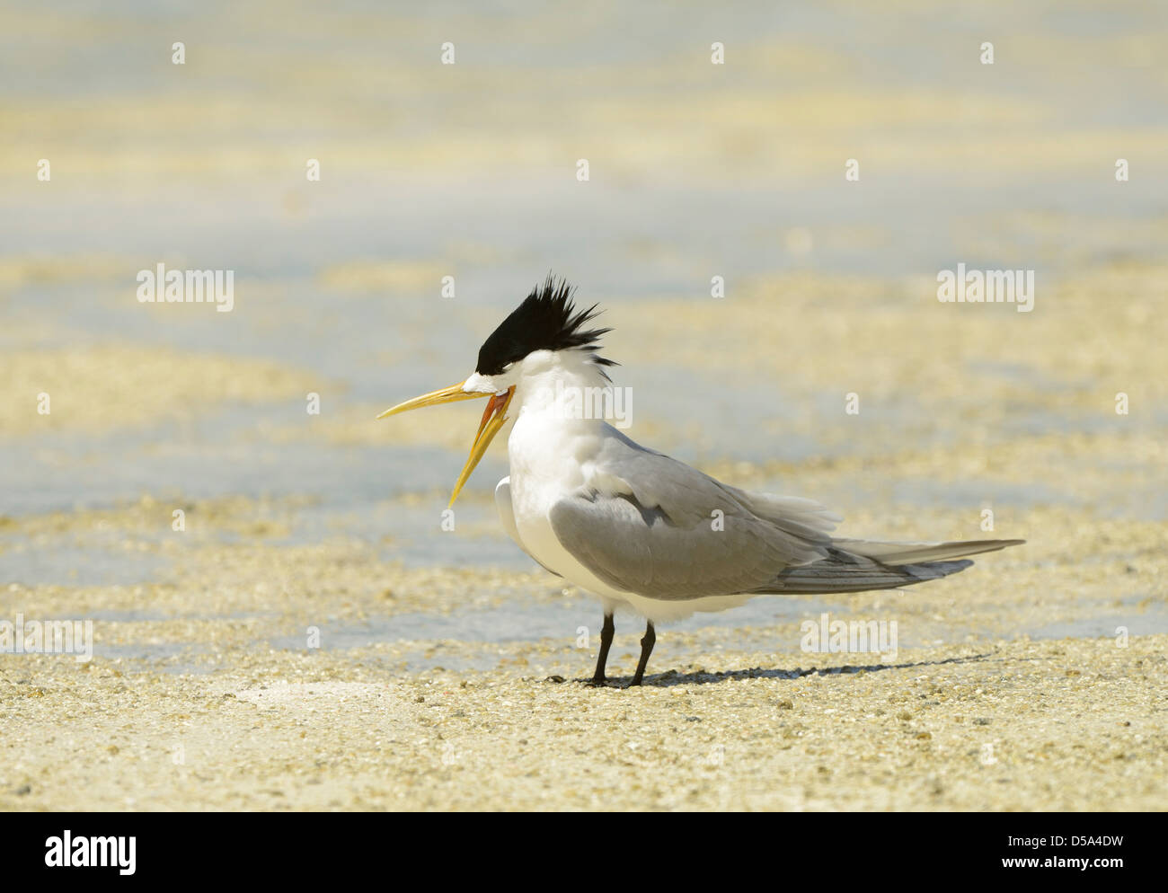 Greater Crested or Swift Tern (Thalasseus bergii) standing on beach, squawking, Queensland, Australia, November - Stock Image