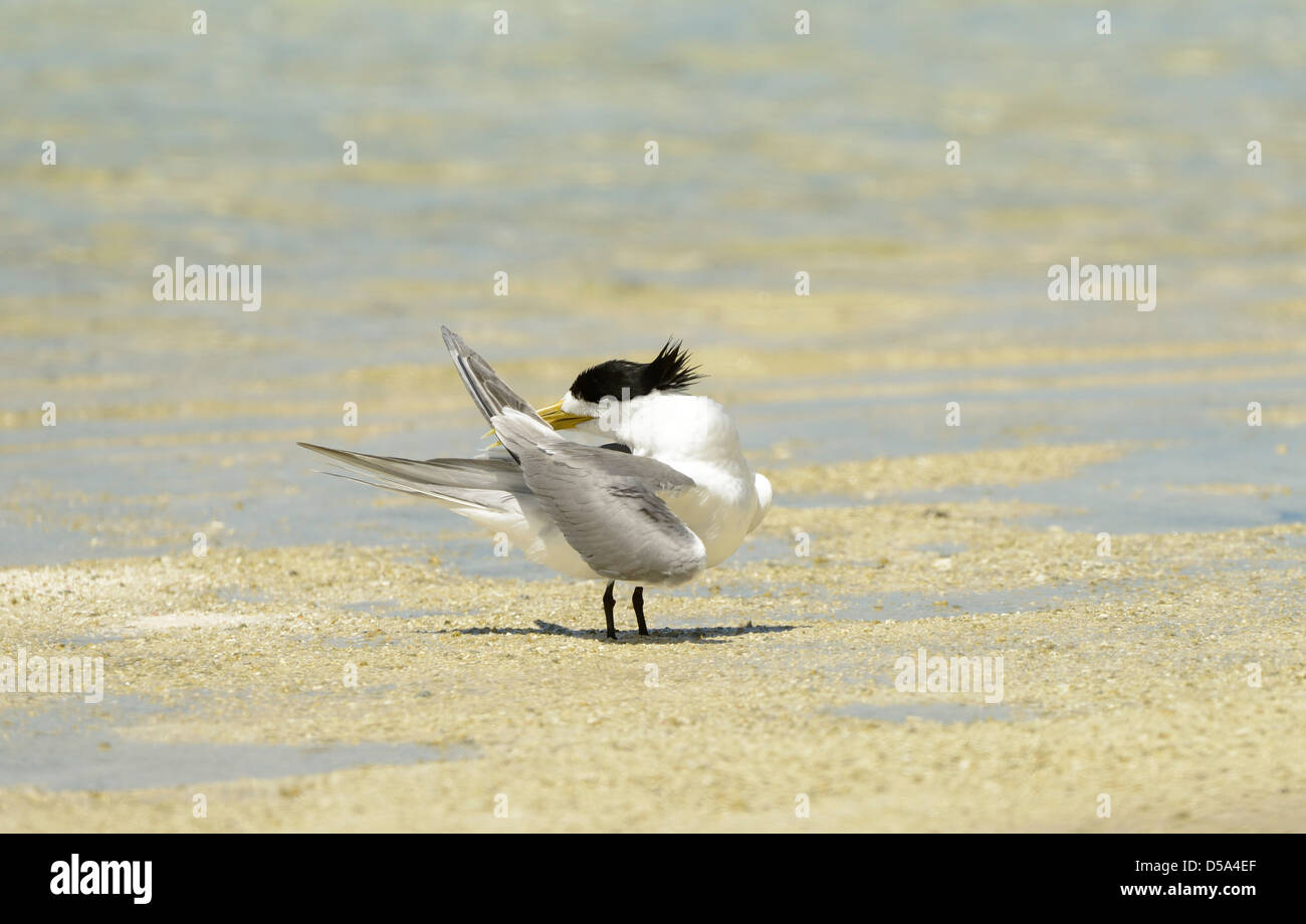 Greater Crested or Swift Tern (Thalasseus bergii) standing on beach preening, Queensland, Australia, November - Stock Image