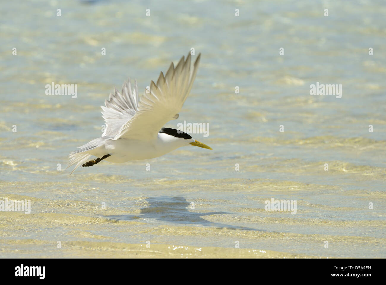 Greater Crested or Swift Tern (Thalasseus bergii) in flight over the sea, Queensland, Australia, November - Stock Image