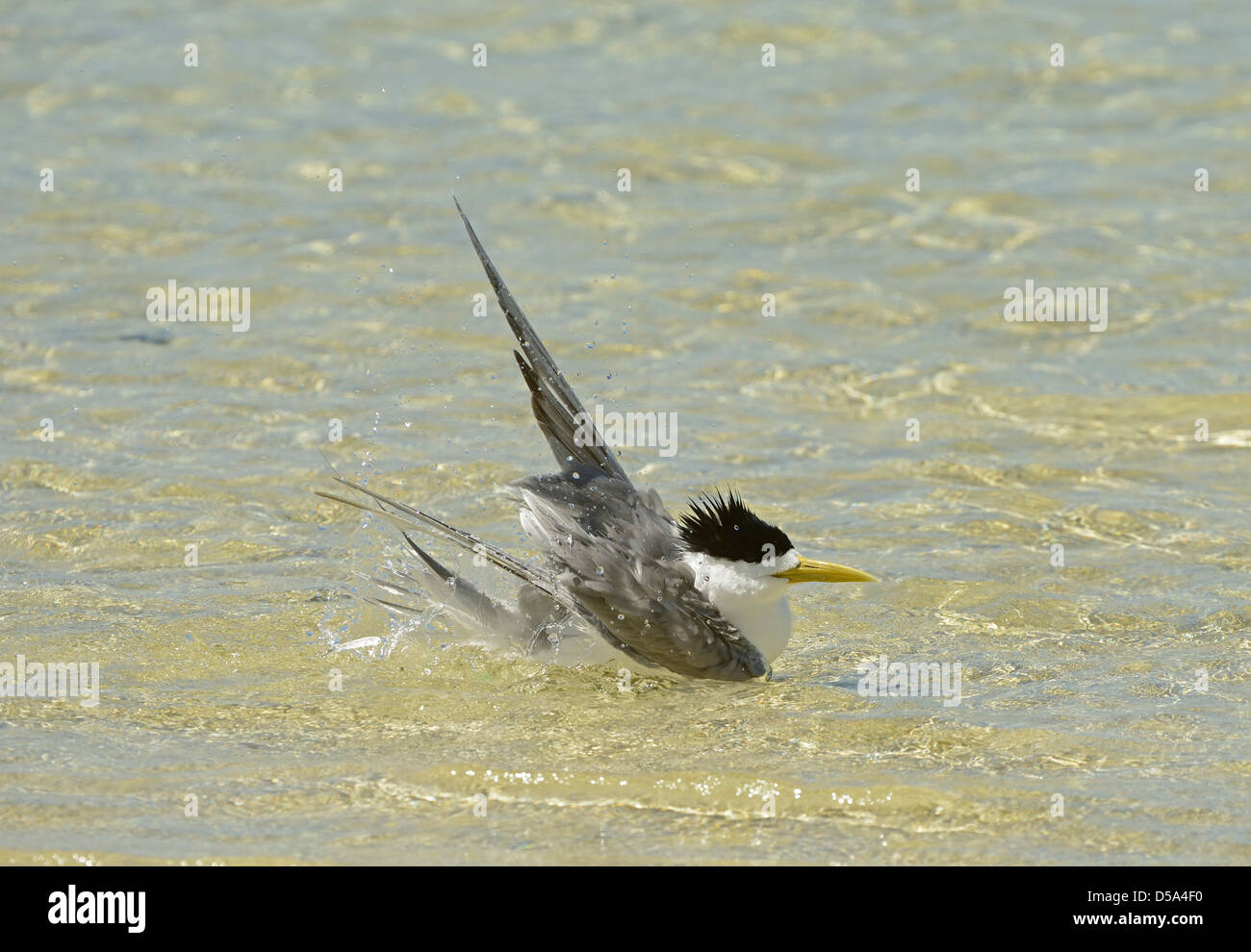 Greater Crested or Swift Tern (Thalasseus bergii) bathing in shallow sea water, Queensland, Australia, November - Stock Image