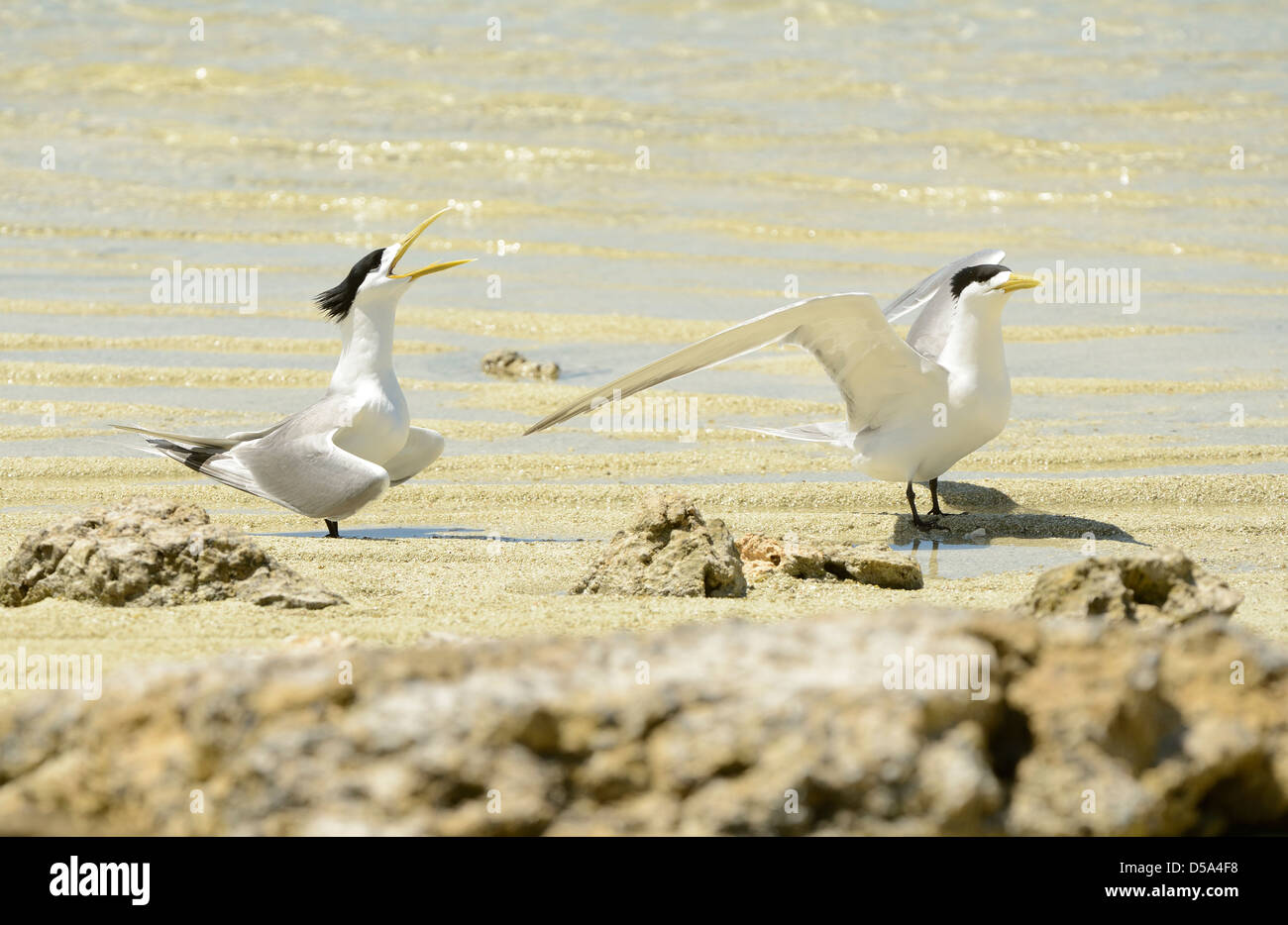 Greater Crested or Swift Tern (Thalasseus bergii) pair standing on the beach, courtship display, Queensland, Australia - Stock Image
