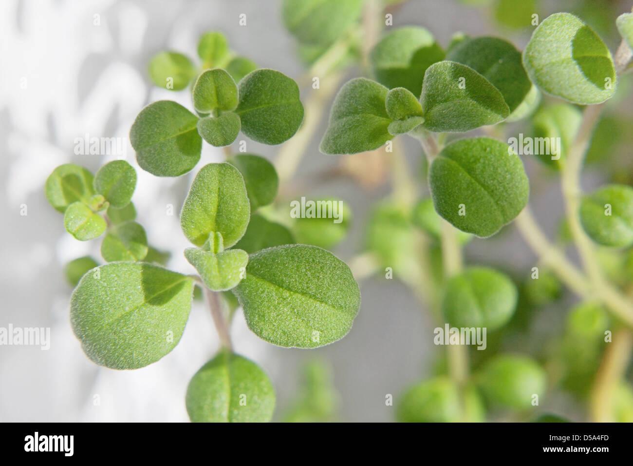 Growing An Indoor Herb Garden, marjoram growing in a container - Stock Image