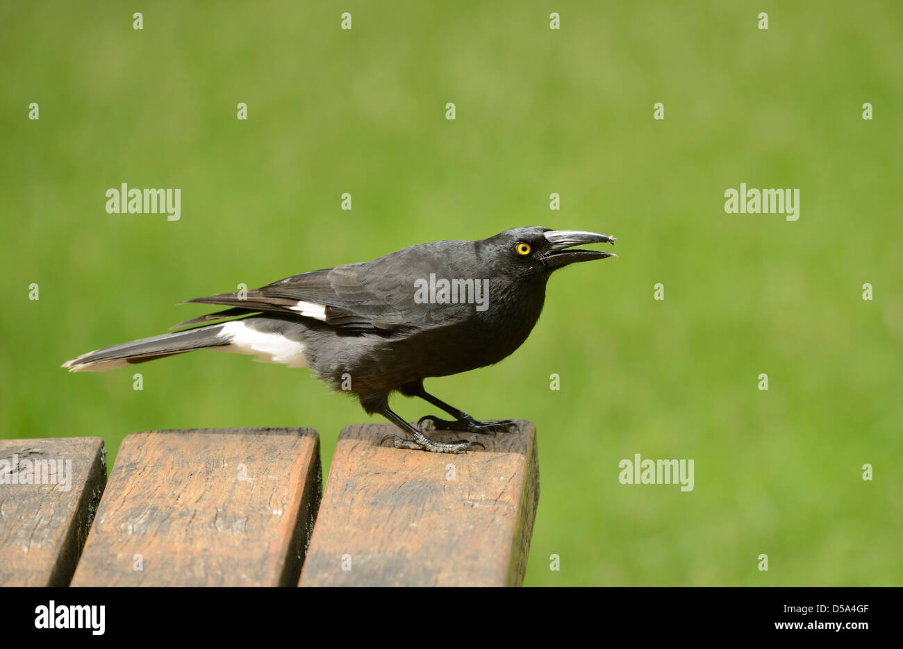 Pied Currawong (Strepera graculina) standing on garden table, Victoria, Australia, November - Stock Image