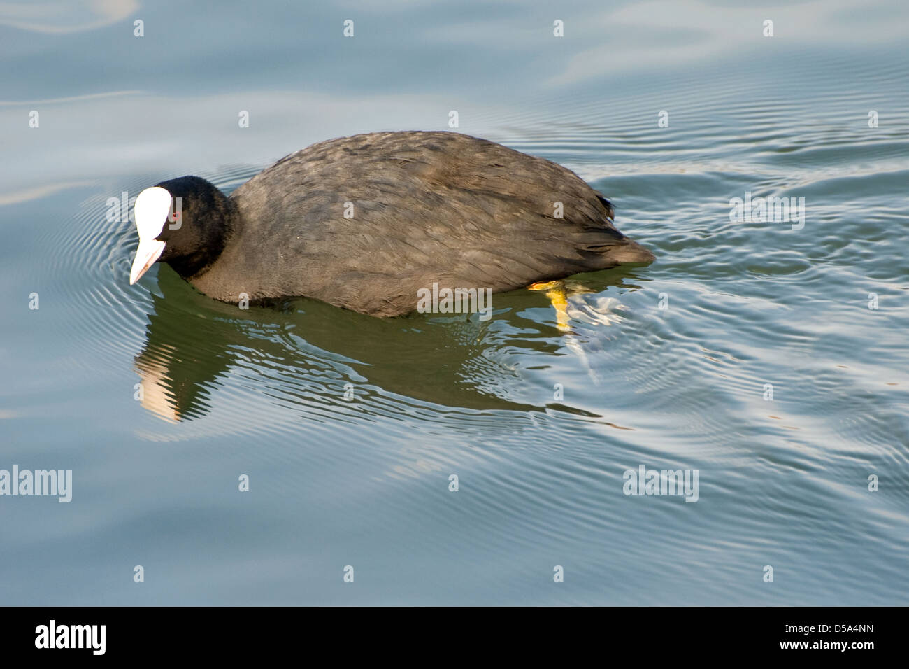 Coot swimming in clear water - Stock Image